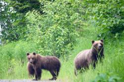 Louise Ungless Grizzly Bears